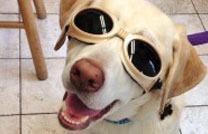 Kona laser therapy for dogs